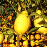 Коронавирус: как лимоны из Ментоны адаптировались к кризису